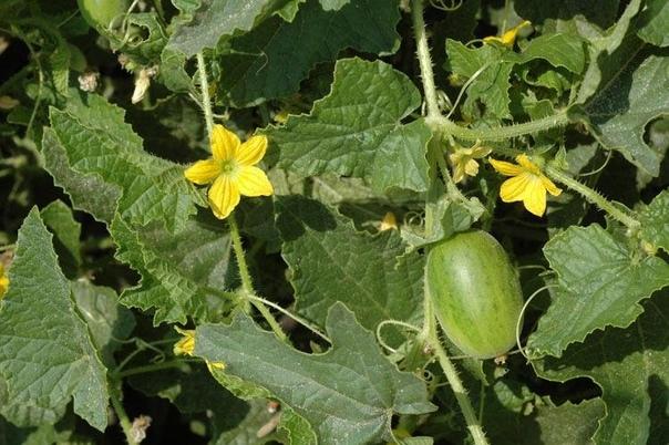 Экзотические овощи, которые я советую выращивать всем.