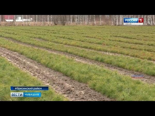 В Ибресинском лесничестве работает уникальное предприятие по переработке и хранению семян хвойных де