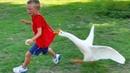 FUNNY VINE ★ Смешные сумасшедшие птицы нападают на детей Funny Babies and Pets