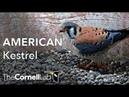 Wisconsin Kestrel Cam Cornell Lab Raptor Resource Project