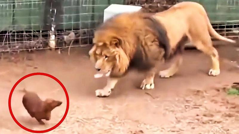 Они Впустили Собаку в Клетку со Львом То Что Случилось Поразило Всех