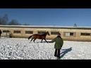 Sahli Shael Sayvan Akhbeli Shael 3 year old akhal teke colt ахалтекинский жеребец