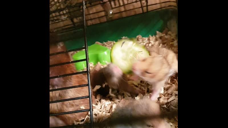 Хомячки впервые кушают что-то отличное от маминого молочка🤣