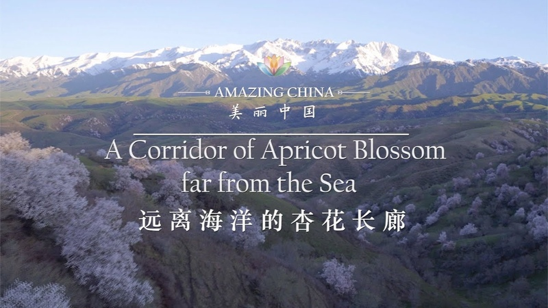 Amazing China A Corridor of Apricot Blossom far from the Sea iPanda