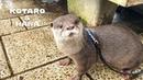 カワウソコタローとハナ 雨の中を走り回る男 Otter Kotaro Hana Walking In The Rain