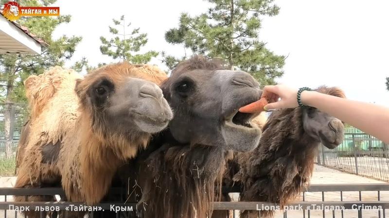 Великаны Тайгана верблюды бизоны медведи Giants of Taigan camels bison bears