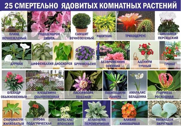 Какие комнатные растения ядовиты и опасны