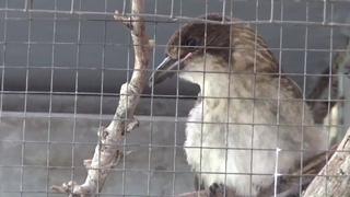 История Птички Тук Тук. Пожары в Австралии. Baby Butcher Bird Tuk Tuk.. Bush Fiers in Australia