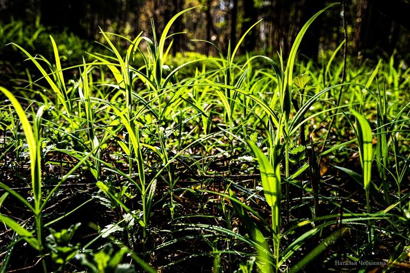 Молодые травинки светятся на солнце. Они тоже весенние огоньки, стоит только присмотреться.