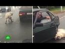 В зооприюте рассказали о состоянии пса, бежавшего на привязи за машиной