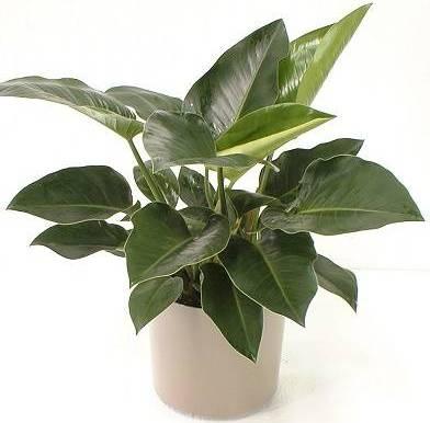 Филодендроны Древовидные большие комнатные растения или мощные лианы разнообразного внешнего вида. Листья филодендрона: в зависимости от вида от 15 см до 2 м длиной, неопадающие, жесткие,