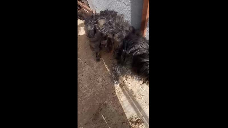 бородатый пёс молодой