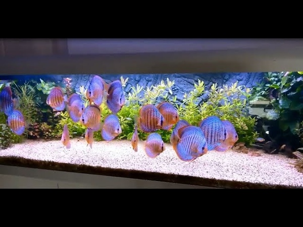 Amazing Discus Feedingtime Video. Thanks to Fred Galizzi