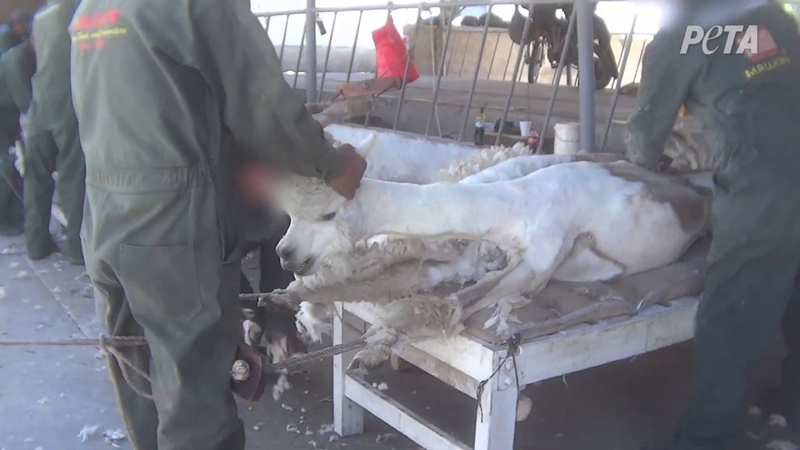 Crying, Vomiting Alpacas Tied Down, Cut Up for Jumpers and Scarves – Help Them Now!