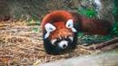 Cute Red Panda Cubs Go Exploring ZooBorns