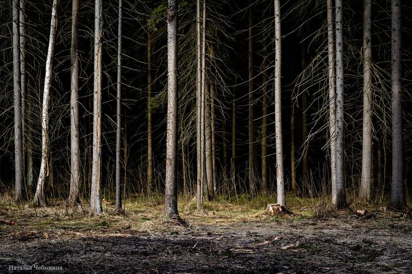 «Заколдованный лес». Хвойные леса Зеленограда удивительно красивы. И очень сильно меняются вместе со сменой освещения. Они могут манить на свои тропинки солнечным утром. Или пугать таинственными туманами после дождя. Лес всегда разный, но неизменно красивый.