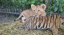 Амурский тигрёнок и африканский львёнок парк Тайган