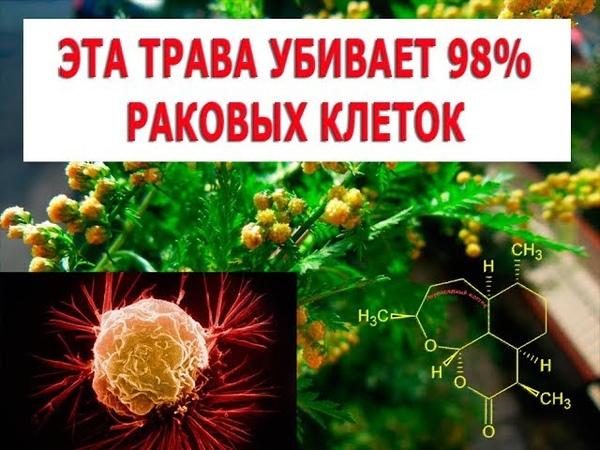 Трава, которая убивает 98 раковых клеток, часть 2 Как и когда заготавливать полынь, рецепты лечения