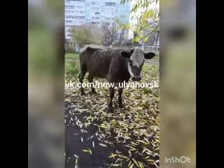 Коровы в городе. Ульяновск