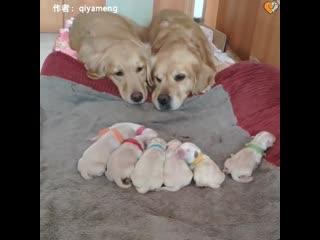 Golden retriever parents watching over their newborn puppies
