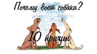 """Почему собака воет? 10 причин """"плача"""" собакина."""