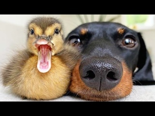 AWW CUTE BABY ANIMALS Videos Compilation cutest moment of the animals - Soo Cute! #43