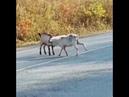 «90-е возвращаются!» козлы устроили драку прямо на дороге в Приморье