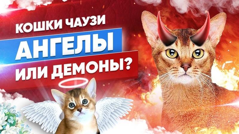 КОШКИ ЧАУЗИ АНГЕЛЫ ИЛИ ДЕМОНЫ CHAUSIE CATS ANGELS OR DEMONS
