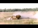 Лев против гиены @wildplanet_house