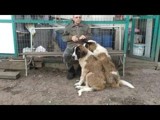Щенки Московской сторожевой Дар Женни Дарьяна и Дарий Траян ( Онисим х Гленда), 3 мес 3 нед