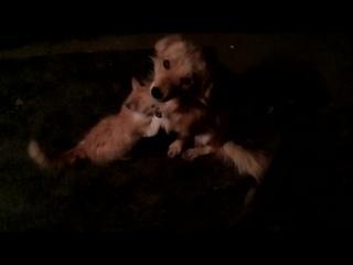 Котёнок пытается съесть собаку