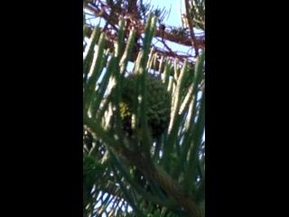 La Morant, интересные хвойные деревья,у которых ветки тоже становятся как шишки