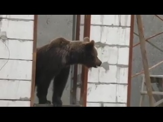 Продолжение похождений медведя по Пангодам