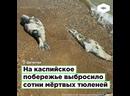 В Дагестане на каспийское побережье выбросило сотни мёртвых тюленей I ROMB