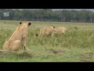 Львы против мангуста (480p).mp4