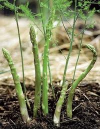 ! Сегодня речь пойдет об овоще - деликатесе, её величестве СПАРЖЕ