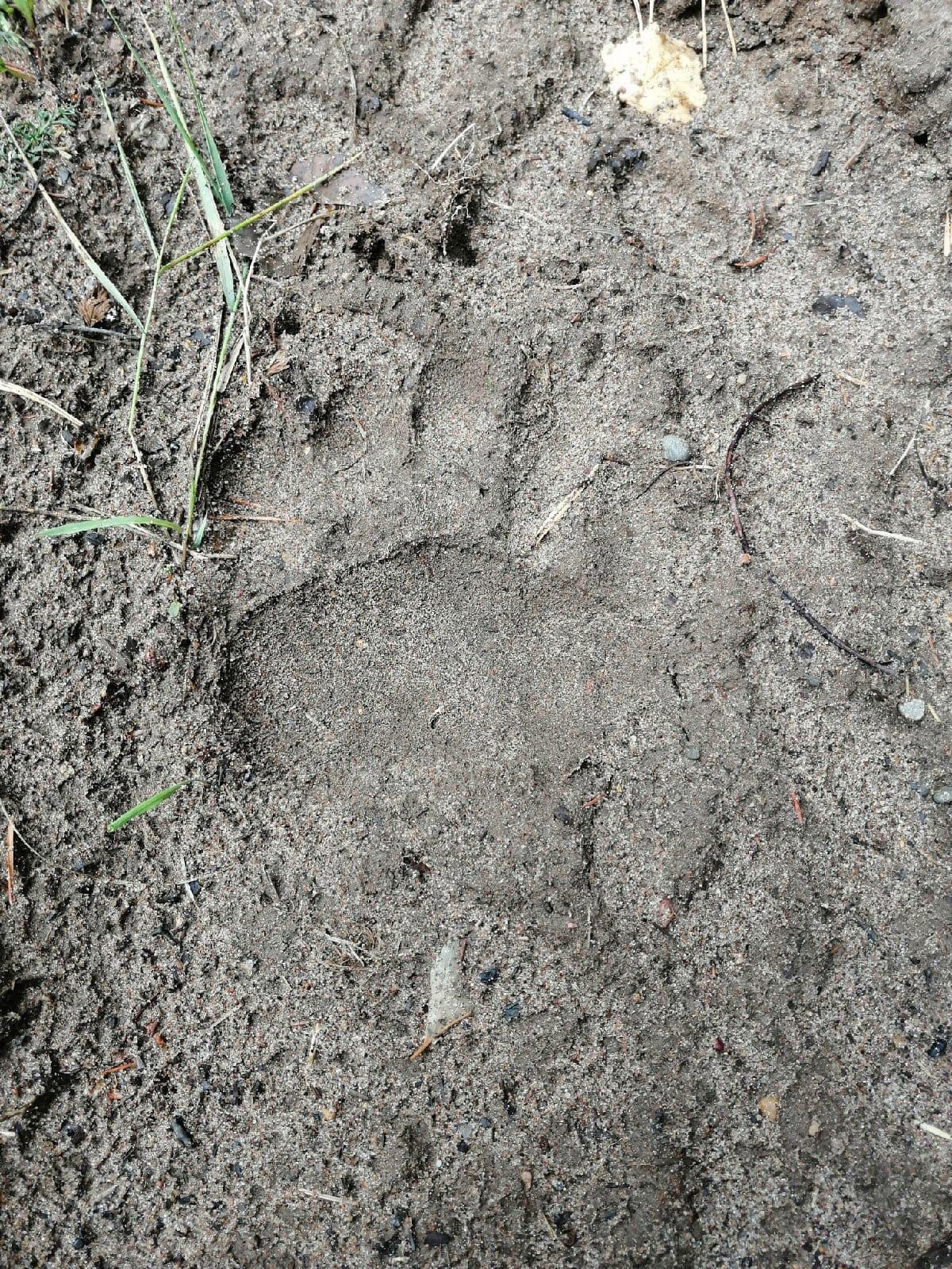 Вблизи деревни Старые Какси грибники заметили следы