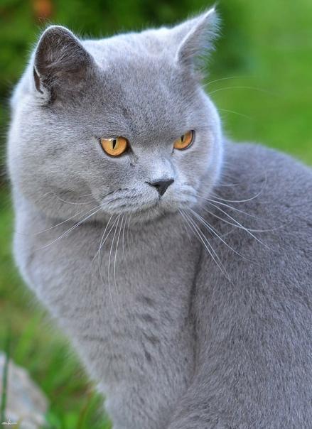 Пропала кошка! Британская, серая с коричневым ошей...