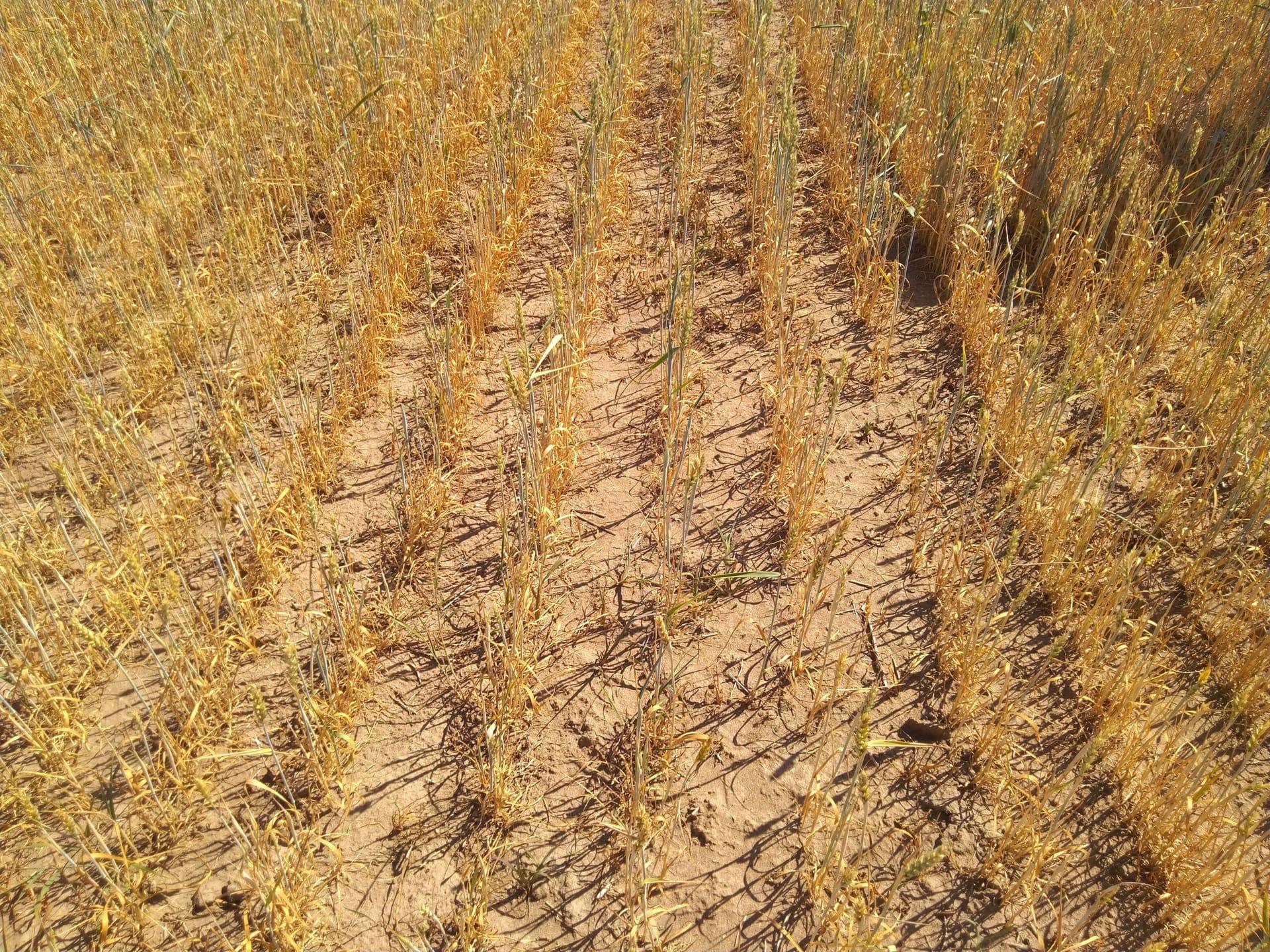 В Можгинском районе из-за засухи гибнут посевыТакой