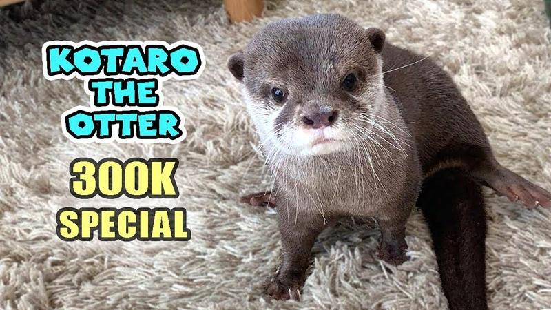 30万人記念 カワウソコタロー1年間のベストシーン一挙公開! 300K SUB SPECIAL Kotaro the Otter Best Moments
