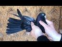 Николаевские голуби. Заселение молодых 2021