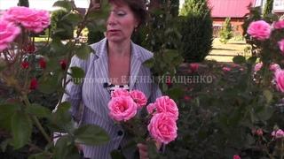 ЛЕТНЯЯ ОБРЕЗКА и обзор розы ЛАВИНИЯ (Lawinia) ч.5 последняя. Питомник Роз ЕЛЕНЫ ИВАЩЕНКО