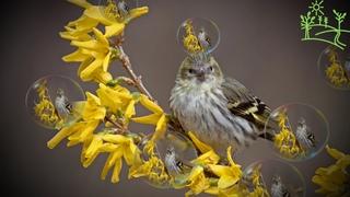 Голоса птиц Как поёт Чиж