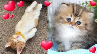 ОСТОРОЖЕНО!!! СЛИШКОМ МИЛЫЕ КОШКИ!!!! Манчкин Кошки ~ Смешные и милые ~ Порода кошек №4