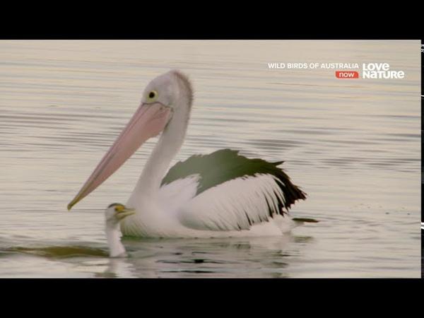 Дикие птицы Австралии Родное гнездо Документальный фильм в Ultra HD 4K