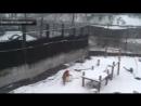 Амурская тигрица из Калининграда научилась лепить огромные снежные шары ...