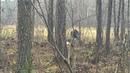 Охота на лося с заподно-сибирскими лайками 2019 Тайга, Бинго, Бим.