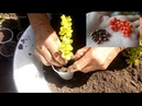 Черенкование БАРБАРИСА Тунберга : июнь-июль