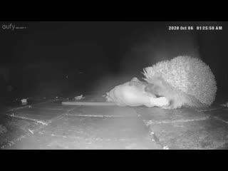 Fox and hedgehog are caught on camera sharing a roast chicken dinner